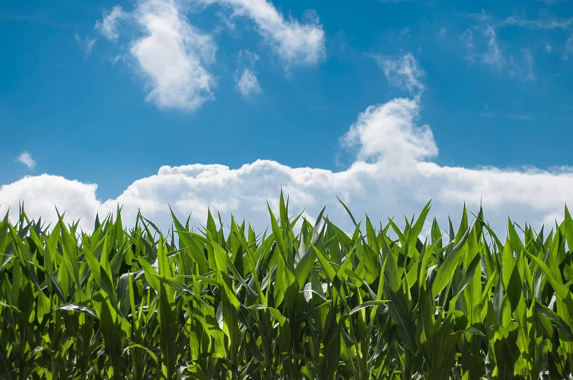 corn field 440338 1920 compressed